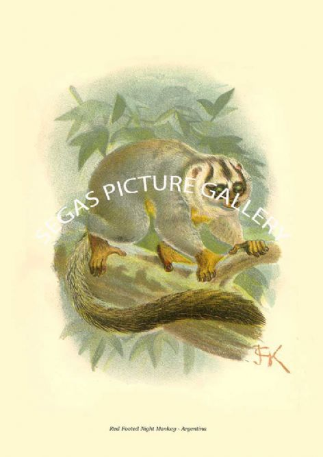 Fine art print of the Red Footed Night Monkey - Argentina by Johannes Gerardus Keulemans (1896)